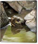 Galapagos Giant Tortoise In Pond Behind Another Acrylic Print