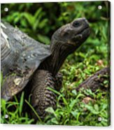 Galapagos Giant Tortoise In Profile In Woods Acrylic Print