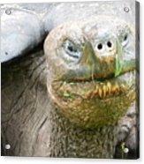 Galapagos Giant Tortoise Acrylic Print