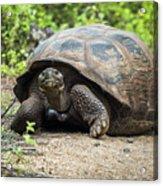 Galapagos Giant Tortoise Walking Down Gravel Path Acrylic Print
