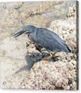 Galapagos Heron In Santa Cruz Island, Galapagos. Acrylic Print