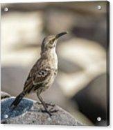 Galapagos Hood Mockingbirds Acrylic Print