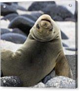 Galapagos Sea Lion Acrylic Print