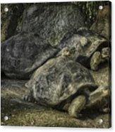 Galapagos Tortoise_hdr Acrylic Print