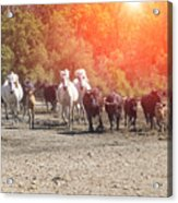 Galloping In Camargue Acrylic Print