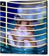 Gangster Hamster Acrylic Print