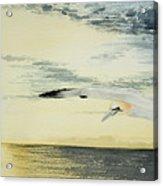 Gannet At Dusk Acrylic Print