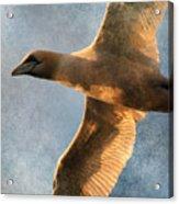 Gannet In Flight 2 Acrylic Print