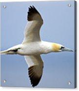 Gannet In Flight Acrylic Print
