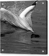 Gannet Northern Morus Bassan Setting On The Ocean Surface Acrylic Print