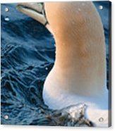 Gannet Swim 3 Acrylic Print
