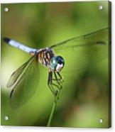 Garden Dragonfly Acrylic Print