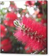 Garden Flower 6 Acrylic Print