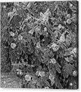 Garden Hydrangeas In Grayscale Acrylic Print