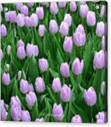 Garden Of Pink Tulips Acrylic Print
