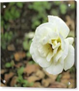 Garden Party Hybrid Tea Rose, White Rose Originally Produced By Acrylic Print