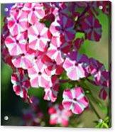 Garden Phlox Acrylic Print