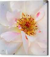 Garden Rose Blush Acrylic Print
