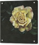 Garden Rose Acrylic Print by Jeff Brimley