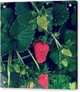 Ripening Garden Strawberries  Acrylic Print