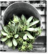 Garden Succulents Partial Color Acrylic Print