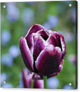 Garden Tulip With Rain Drops On A Spring Day Acrylic Print