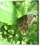 Garden With A Blue Morpho Butterfly With Wings Closed Acrylic Print