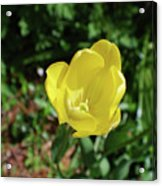 Garden With Beautiful Flowering Yellow Tulip In Bloom Acrylic Print