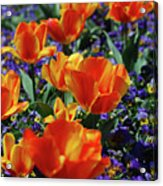 Garden With Blooming Yellow And Red Tulip Blossoms Acrylic Print