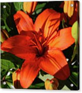 Garden With Lily Buds And A Blooming Orange Lily Acrylic Print