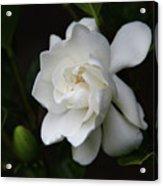 Gardenia - II Acrylic Print