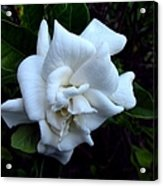 Gardenia 3 Acrylic Print