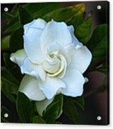 Gardenia 5 Acrylic Print
