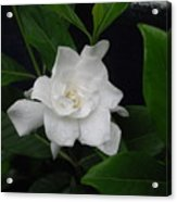 Gardenia Aromatic Acrylic Print
