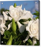 Gardenia Flowers Acrylic Print