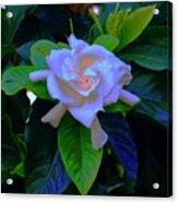 Gardenia Heart Warmth Acrylic Print