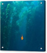 Garibaldi Fish In Giant Kelp Underwater Acrylic Print