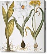 Garlic, 1613 Acrylic Print