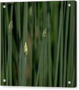 Garlic Chive Season Acrylic Print