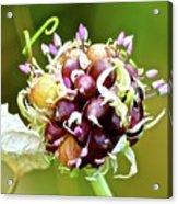 Garlic Top Acrylic Print