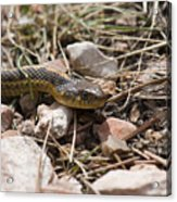 Garter Snake On The Trail In The Pike National Forest Of Colorad Acrylic Print