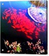 Gather Gold Fish Acrylic Print