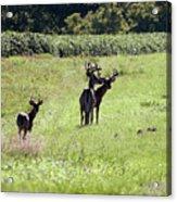 Gathering Of Bucks Acrylic Print