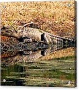 Gator 5 Acrylic Print