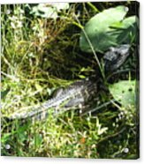 Gator Baby Acrylic Print