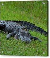 Gator Acrylic Print