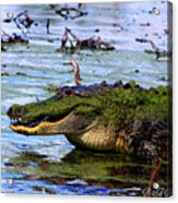 Gator Growl Acrylic Print