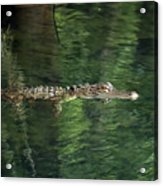 Gator In The Spring Acrylic Print