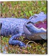 Gator Laugh Acrylic Print