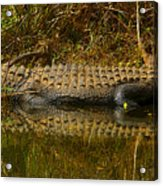Gator Relection Acrylic Print